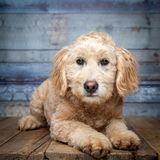 Cachorrinho dourado-doddle adorável fotos de stock