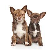 Cachorrinho e cão da chihuahua no branco Fotos de Stock