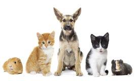 Cachorrinho e gatinho e cobaia Imagem de Stock