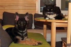 Cachorrinho e gato do pastor alemão Fotografia de Stock Royalty Free