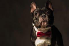 Cachorrinho elegante do buldogue francês que veste o levantamento vermelho do laço foto de stock royalty free