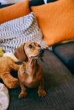 Cachorrinho em casa Fotografia de Stock