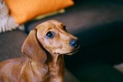 Cachorrinho em casa Imagens de Stock Royalty Free