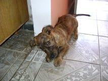 Cachorrinho em 3 meses da idade foto de stock