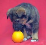 Cachorrinho em um fundo vermelho Fotografia de Stock Royalty Free