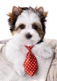 Cachorrinho em um laço vermelho bonito Foto de Stock Royalty Free