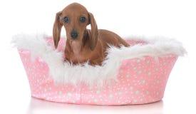 cachorrinho em uma cama do cão Fotos de Stock Royalty Free