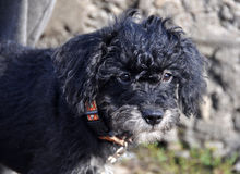 Cachorrinho encaracolado preto fotografia de stock