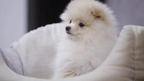 Cachorrinho engraçado de Pomeranian na cama do animal de estimação vídeos de arquivo