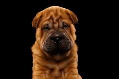 Cachorrinho engraçado de Sharpei do close up isolado no preto Foto de Stock Royalty Free