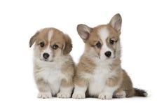 Cachorrinho engraçado do Pembroke do Corgi de Galês com mamã imagem de stock royalty free