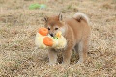Cachorrinho engraçado surpreendente do inu de Shiba fotos de stock royalty free