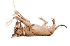 Cachorrinho engraçado do pitbull que joga com uma corda Imagem de Stock