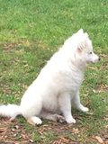 Cachorrinho Eskimo americano novo Imagem de Stock Royalty Free