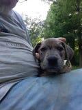 Cachorrinho eyed azul bonito foto de stock