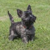 Cachorrinho fêmea adorável de Terrier de monte de pedras fotografia de stock