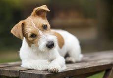 Cachorrinho feliz bonito do cão de estimação que pensa e que escuta com orelhas fotos de stock
