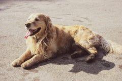 Cachorrinho feliz bonito do golden retriever imagens de stock