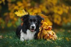 Cachorrinho feliz border collie Imagem de Stock