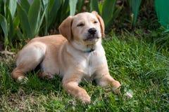 Cachorrinho feliz do laboratório fotografia de stock royalty free