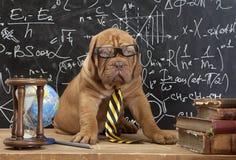 Cachorrinho francês do mastim nos vidros com livros imagem de stock