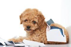 Cachorrinho impertinente da caniche Fotos de Stock