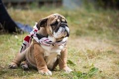 Cachorrinho inglês do buldogue 3 meses no lenço de pescoço que senta-se na grama foto de stock
