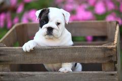 Cachorrinho inglês do buldogue na caixa de madeira Foto de Stock