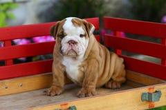 Cachorrinho inglês do buldogue que senta-se no vagão Fotografia de Stock Royalty Free