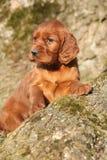 Cachorrinho irlandês do setter vermelho na natureza Imagens de Stock