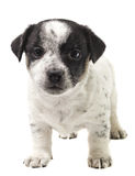 Cachorrinho Jack Russell Fotografia de Stock Royalty Free