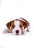 Cachorrinho. Jack Russell Terrier. no branco Foto de Stock