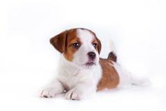 Cachorrinho. Jack Russell Terrier. no branco Imagem de Stock