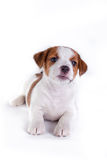 Cachorrinho. Jack Russell Terrier. no branco Fotografia de Stock Royalty Free