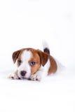 Cachorrinho. Jack Russell Terrier. no branco Fotos de Stock