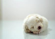 Cachorrinho maltês na idade de três semanas Imagens de Stock Royalty Free