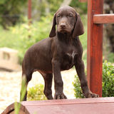 Cachorrinho marrom agradável na ponte pequena do jardim Fotos de Stock