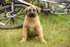 Cachorrinho marrom bonito bonito que senta-se na grama ao lado da bicicleta na natureza imagens de stock