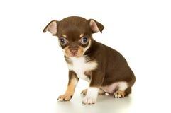 Cachorrinho marrom bonito da chihuahua imagem de stock