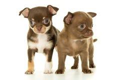 Cachorrinho marrom da chihuahua dois fotos de stock