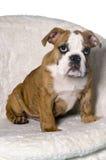Cachorrinho masculino do buldogue Fotografia de Stock Royalty Free