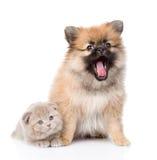 Cachorrinho minúsculo do spitz que senta-se com gatinho escocês junto Fotos de Stock