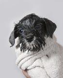 Cachorrinho molhado do schnauzer com toalha Fotos de Stock