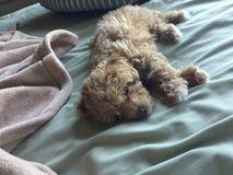 Cachorrinho na cama imagem de stock