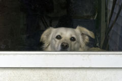Cachorrinho na janela Fotografia de Stock