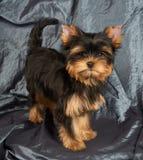 Cachorrinho no cinza imagens de stock
