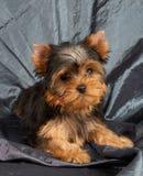 Cachorrinho no cinza imagem de stock royalty free