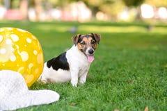 Cachorrinho no parque que senta-se na grama ao lado de uma bola e de um chapéu imagem de stock royalty free