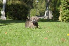 Cachorrinho Norfolk mais terrrier fotografia de stock