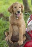 Cachorrinho novo do golden retriever na cesta da motocicleta Foto de Stock Royalty Free